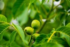 Walnuss-Baum Grow wartend geerntet zu werden lizenzfreie stockfotografie