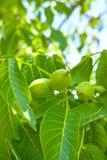 Walnuss-Baum Grow wartend geerntet zu werden stockfotografie