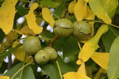 Walnuss-Baum mit reifen Früchten, Tschechische Republik, Europa Lizenzfreies Stockbild