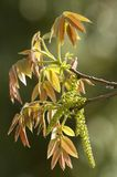 Walnuss-Blüte Stockfotografie
