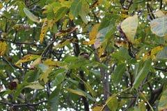 Walnuss ist auf dem Baum reif lizenzfreie stockbilder