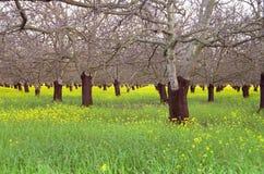 Walnuss-Obstgarten im frühen Frühling Stockfotos
