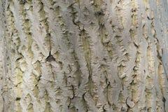 Walnussbarken-Beschaffenheitshintergrund Stockfoto