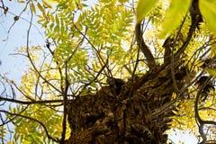 Walnussbaum im Herbst stockfotografie