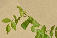 Walnussbaum (Juglans Regia) Stockbilder