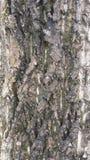 Walnussbaumbeschaffenheit Stockfoto