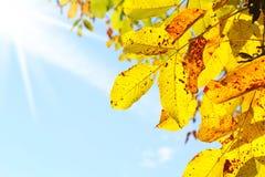 Walnussblätter und blauer Himmel lizenzfreies stockbild