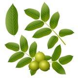 Walnussblätter und -früchte lizenzfreie abbildung