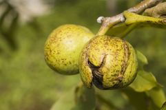 Walnut. Fresh and young walnut on the tree in late summer Stock Image