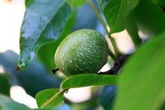 walnut Стоковое Фото