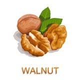 walnut иллюстрация вектора