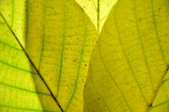 Walnut autumn leaves Royalty Free Stock Photo