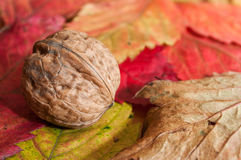 Walnut on autumnal leaves Royalty Free Stock Photography
