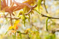 Walnut blooming flower in April on sunny day. Nature wallpaper Royalty Free Stock Photography