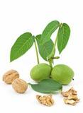Walnut Branch. On white Stock Photos