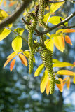 Walnut branch with flowering catkins and young leaves Stock Images