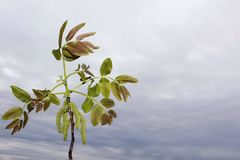 Walnut branch with leaves and spring buds with sky background. Walnut branch leaves spring buds sky background stock photography