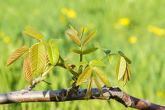 Walnut branch with new leaves, close-up Royalty Free Stock Photos