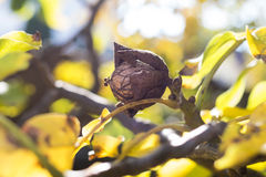 Walnut on branch Royalty Free Stock Image