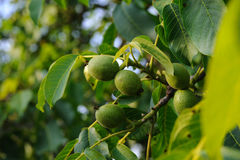 Walnut branch with young fruit Stock Photo