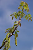 Walnut branch with young leaves and buds Royalty Free Stock Photos