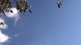 Walnut Branches Against a Sky. In autumn stock footage