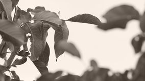Walnut leaves in the sky. Walnut branches with leaves, wind blows stock video footage