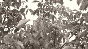 Walnut leaves in the sky. Walnut branches with leaves, wind blows stock footage
