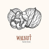 Walnut Card Hand Draw Sketch. Vector Stock Photo