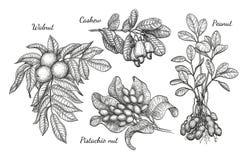 Walnut, cashew, pistachio and peanut Stock Photography