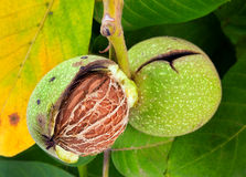 Walnut closeup on tree Royalty Free Stock Photography