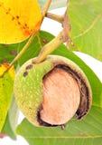 Walnut closeup on tree Royalty Free Stock Photo