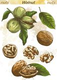 Walnut color Royalty Free Stock Image