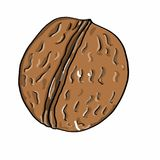 Walnut coloring  and white background. Walnut coloring illustration drawing and white background Royalty Free Stock Photos
