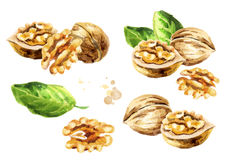 Walnut compositions set. Hand-drawn illustration. Walnut compositions set. Hand-drawn watercolor illustration Stock Images