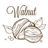 Walnut_01 disegnato a mano Fotografia Stock