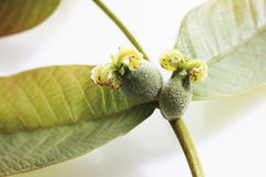Walnut female inflorescence with leaves Stock Image