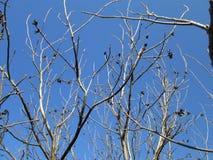Walnut in front of the sky. Walnut tree branch in front of the sky Royalty Free Stock Image