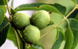 Walnut fruit on the tree Royalty Free Stock Photos