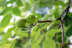 Walnut fruit on the tree Stock Photos
