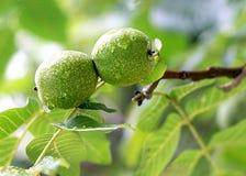 Walnut fruit on the tree Royalty Free Stock Image