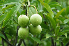 Walnut fruits Stock Photos