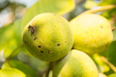 Walnut fruits Royalty Free Stock Photography