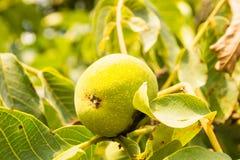 Walnut fruits Stock Images