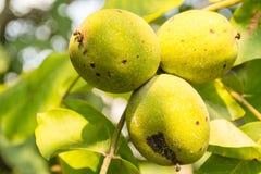 Walnut fruits Royalty Free Stock Photos