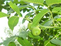 Walnut fruits on a tree among leaves Stock Images