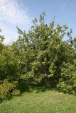 Walnut garden Stock Photography
