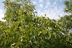 Walnut garden Royalty Free Stock Photography