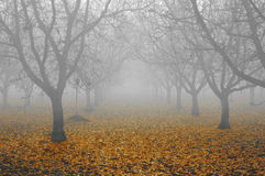 Walnut Grove in Fog Royalty Free Stock Photography