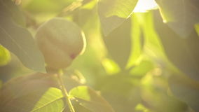 Walnut hanging on walnut tree in sun flares stock video